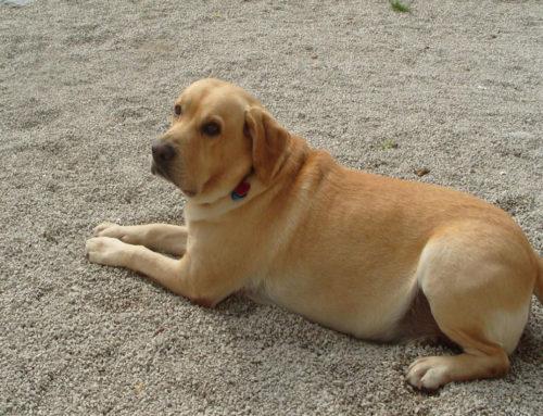 Ένας σκύλος – μόνο- δεν αρκεί για την ασφάλεια του σπιτιού σας